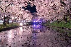 Hirosaki Cherry Blossom Festival (bamboo_sasa) Tags: 弘前公園 弘前城 弘前さくらまつり 青森 弘前 桜 お花見 東北 日本 花 ソメイヨシノ 春 hirosaki cherryblossom festival cherry blossom aomori tohoku park spring flower japan someiyoshino