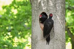 Black woodpeckers, switching turns incubating the eggs. (mariogrievink) Tags: blackwoodpecker incubating breeding zwartespecht broeden dutchnature tamron150600mmg2 nikon d500