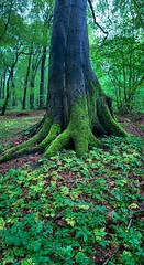 A tree in a local forest (Speeesh) Tags: trees skov forest leaves moss green skovby danmark denmark