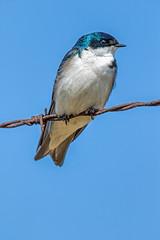 Tree Swallow (edmason88) Tags: treeswallow memories bluesky tamron150600 strathconacounty alberta canada