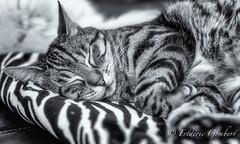 Quietness (frederic.gombert) Tags: quiet cat feline cool black white bw quietness macro eyes face sleep sony