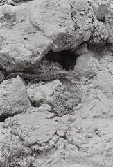 Lizard 1 (adam_h_photo) Tags: halfframe olympuspenft monochrome film filmphotography 35mm analogue analog photofilmy ishootfilm istillshootfilm blackandwhite