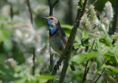 Варакушка - Bluethroat (SvetlanaJessy) Tags: природа птицы варакушка bird birds