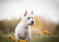 Down here in spring (eparkinsonphotography.com) Tags: may action bluebells dog flowers outdoors portrait pup spring terrier westie white
