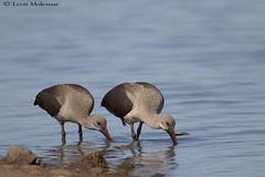 Feeding Hadeda pair (leendert3) Tags: leonmolenaar southafrica krugernationalpark wildlife nature birds hadedaibis naturethroughthelens