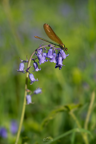 Beautiful Demoiselle ♀️ | Calopteryx virgo