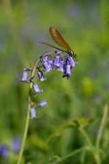 Beautiful Demoiselle ♀️   Calopteryx virgo (http://www.richardfoxphotography.com) Tags: calopteryxvirgo beautifuldemoiselle macro macrophotography dartmoor dartmoornationalpark insect invertibrate dragonfly damselflies damselfly