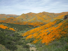 Walker Canyon poppies (h willome) Tags: 2019 california wildflowers superbloom lakeelsinore