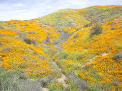 hillsides covered with poppies (h willome) Tags: 2019 california wildflowers superbloom lakeelsinore