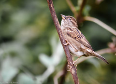 Always a joy (pootlepod) Tags: 7dmkii canon wren sparrow bunting wildlife wild perched perch tree shrubs wings song resting nature raw natural uk southwest devon bill beak striations male female
