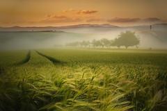 Verde pisello (Zz manipulation) Tags: art ambrosioni zzmanipulation verde grano campagna natura nebbia landscape tracce