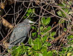 Little Blue Heron in the Mangroves (Jim Frazier) Tags: 201801floridatrip 2019 ardeidae egrettacaerulea animals aves bayou biota birding birds birdwatching dingdarlingnationalwildliferefuge fauna fl flora florida foliage herons january jimfraziercom leaf leaves life littleblueheron living loaf loafing lonely lonesome marsh nationalwildliferefuge natural nature nwf one perch perched perching plants portrait preserve q4 roadtrip roost roosting ruleofthirds sanibel single sunny swamp vacation water wetland wildlife winter