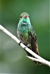 Rufous-tailed Hummingbird (Amazilia tzacatl) 03-13-2019 Bijagua--Bird Songs Gardens, Alajuela Province, CR 5 (Birder20714) Tags: birds costa rica hummingbirds trochilidae amazilia tzacatl