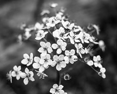 Color is overrated pt. 4 (walden.gothere) Tags: nikond80 nikkor nikon nikkor35mm 35mm 35 35mmf18 f18 f25 flower blackandwhite blackwhite black white bokeh