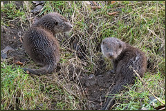 Two Otter Cubs (image 1 of 5) (Full Moon Images) Tags: wildlife nature animal mammal otter cub