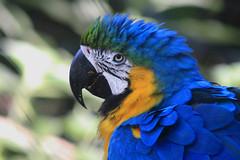 Brazil 2019 (Arlei Antunes) Tags: arleiaj arleiantunes arlei antunes aj são braz criadouro zoo arara canindé una ara macaw yellow brazilian canont5 canon 75300mm t5 brasil brazil 2019 santamariars