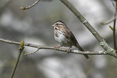 Song sparrow (Melospiza melodia) (octothorpe enthusiast) Tags: lemoinepointconservationarea kingston ontario birds melospizamelodia songsparrow