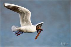Black-headed Gull carrying nest building material (hakoar) Tags: direction portrait inflight nature water balance bill laridae adult red looking feathers bird chroicocephalusridibundus black landing flapping nesting building beak gull white closeup transfer flyby carry animal eye fast migratory spring opportunistic chroicocephalus blackheadedgull colorful wildlife intheair wing speed plumage brown fauna fly flying transport