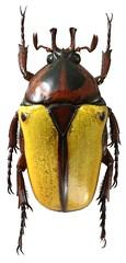 Anisorrhina algoensis (dries.marais) Tags: