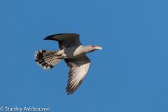 Channel-Billed-Cuckoo. (stanley.ashbourne) Tags: australia holiday channelbilledcuckoo brisbane wildlife nature stanashbourne bird