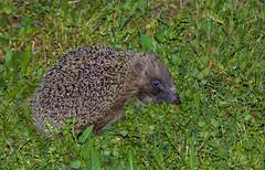 Hérisson commun (JeanJoachim) Tags: hérissoncommun erinaceuseuropaeus erinaceomorpha erinaceidae europeanhedgehog braunbrustigel mammalia pentaxk5ii smcpentaxda200mmf28edifsdm