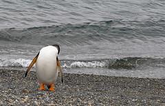 Оn the beach... / На пляже... (Vladimir Zhdanov) Tags: travel martilloisland argentina tierradelfuego ocean beach nature birds penguin pygoscelispapua water wave
