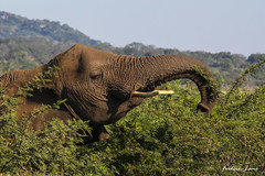 GE0A4570 (fredericleme) Tags: safari safarigame bigfive southafrica africa rsa wild wildlife nature reserve game thanda preservation elephant elephants