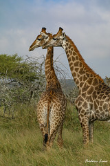 GE0A4089 (fredericleme) Tags: safari safarigame bigfive southafrica africa rsa wild wildlife nature reserve game thanda preservation giraffe giraffes