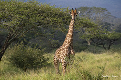 GE0A4077 (fredericleme) Tags: safari safarigame bigfive southafrica africa rsa wild wildlife nature reserve game thanda preservation giraffe giraffes