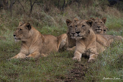 GE0A3612 (fredericleme) Tags: safari safarigame bigfive southafrica africa rsa wild wildlife nature reserve game thanda preservation lion lions