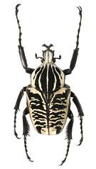 Goliathus albosignatus (dries.marais) Tags: