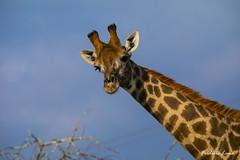GE0A4086 (fredericleme) Tags: safari safarigame bigfive southafrica africa rsa wild wildlife nature reserve game thanda preservation giraffe giraffes