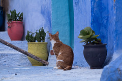 Cats and flowers (Irina1010) Tags: cat feline pet redish pots colorful flowers plants street chefchaouen city morocco bluecity canon 2019 coth5