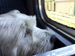 """Oooo, This Is Nice! (37190 """"Dalzell"""") Tags: westhighland terrier dalzell traintravel dieselgala swanagerailway"""