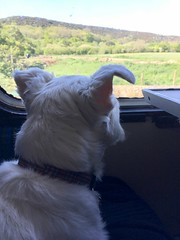 """Enjoying The View (37190 """"Dalzell"""") Tags: westhighland terrier dalzell traintravel dieselgala swanagerailway"""