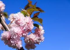 Sign of Summer (Antti Tassberg) Tags: blossom bokeh kesä puu cherry kirsikkapuisto roihuvuori helsinki kukka suomi kirsikankukka finland flower scandinavia tree