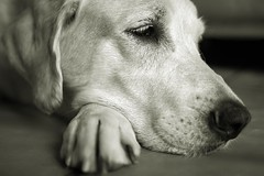 IVA (glaserei) Tags: iva hunde hund labrador labi goldie retriever haustier