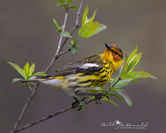 Cape May Warbler (Bill McDonald 2016) Tags: billmcdonald warbler songbird capemaywarbler perched spring ontario migration migrating perching cute colorful woods forest canon canada