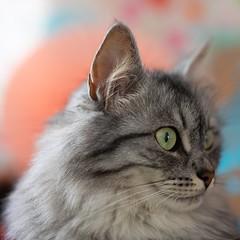 Grace, een grijze beauty (Marjan van de Pol) Tags: dordrecht zuidholland nederland 5dmarkiv canon canon5d grace katten cat cats kat