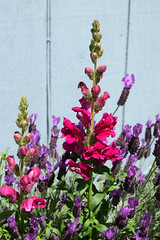 May in Bloom 236 (Donna's View) Tags: nikon d3300 flowers spring backyard lavender lavendula snapdragon antirrhinum