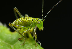 Speckled bush-cricket nymph (neiljamesbrain) Tags: macro macrophotography insect earthcapture ourplanet springwatch canonuk