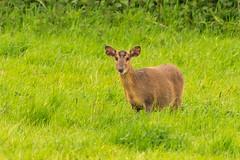 Juvenile Muntjac Deer, Redwell Marsh NOA, North Norfolk, UK (Nick Bowman1) Tags: sonyfe100400 sony14xteleconverter northnorfolk muntjacdeer ilce9 redwellmarshnoa uk