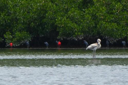 Caroni Bird Sanctuary Herons And Scarlet Ibis