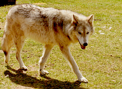 Wolfdog (Feng Sheng) Tags: yamuska wolfdog sanctuary