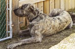 (Feng Sheng) Tags: yamuska wolfdog sanctuary
