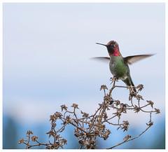 greetings (marneejill) Tags: annas hummingbird negative space nanaimo bc canada sunny day pink green throat