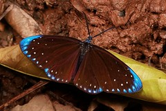 Puddling Chalcosiine Day-Flying Moth (Cyclosia midama, Chalcosiinae, Zygaenidae), male (John Horstman (itchydogimages, SINOBUG)) Tags: insect macro china yunnan itchydogimages sinobug entomology moth lepidoptera canon chalcosiinae zygaenidae midama blue midamia topf25 tweet tumblr fbipm fb