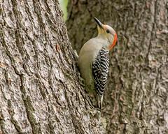 red-bellied woodpecker (crgillette77) Tags: pennsylvania bradfordcounty redbelliedwoodpecker melanerpescarolinus female