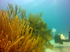 Submarine Exploration (zoniedude1) Tags: mexico scubadiving coralreef submarineexploration seafans invertebrates searod barracudareef diver suspended coral reef fish ocean sea underwater wildlife coralformations sponges scubadiver divebuddy mesoamericanbarrierreef caribbean playadelcarmen 55ftdown mexicanrivieraexpedition2019 nature wild submerged exploration adventure sealifemicro20 pspx19 zoniedude1