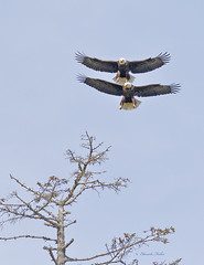 Off in The Distance (ChasingNature) Tags: tree birds raptors baldeagles